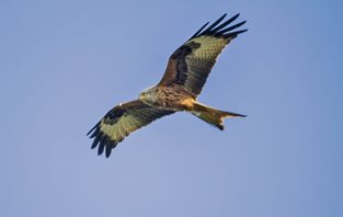 Red kite taken at eyebrook res