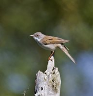 Whitethroat-1