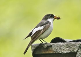 Pied-flycatcher