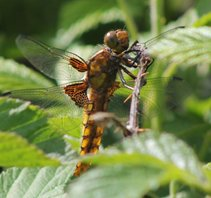 Broadbodied-chaser