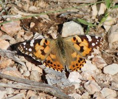 Painted-lady-(2)