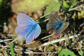 common-blue-(7)