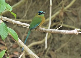 Blue-crowned-Motmot-(2)