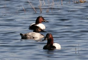 Canvasback-(1)_1