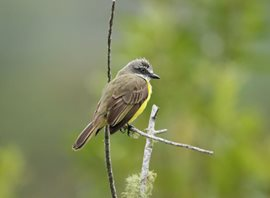 Grey-capped-Flycatcher