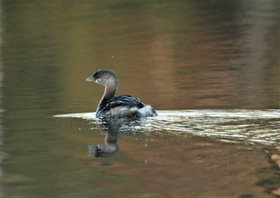 Grebe,-Pied-billed-(2)_1