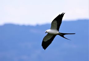 Swallow-tailed-Kite-(3)