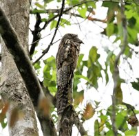 Common-Potoo