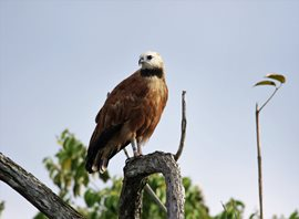 Black-collared-Hawk-(8)
