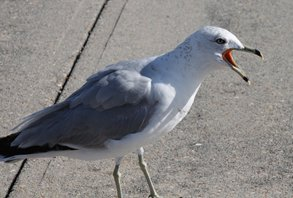Ringbilled-gull
