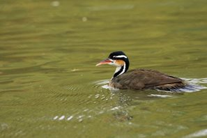 Sungrebe-(1)