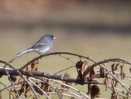 Junco,-Dark-eyed