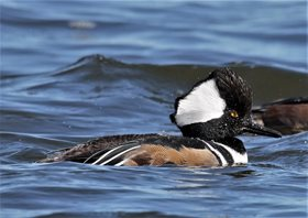 Merganser,-Hooded-(6)_1