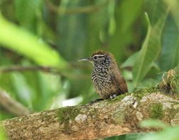 Spot-breasted-Wren-(1)
