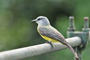 Tropical-Kingbird