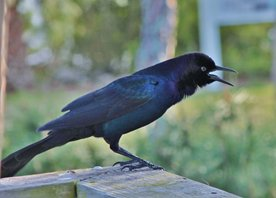 Boat-tailed-grackle-(2)