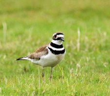 Killdeer-(3)