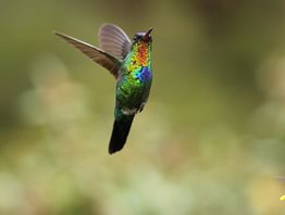 Fiery-throated-Hummingbird-(3)