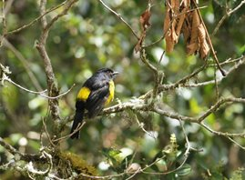 Black-and-yellow-Silky-flycatcher