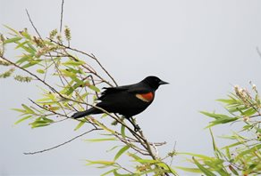 Blackbird-,Red-winged