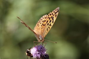 Silver-washed-Fritilliary