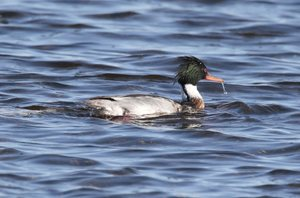 Merganser,-Red-breasted