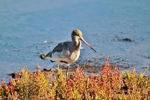 Backtailed Godwit