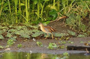Yellow-breasted-Crake-(2)