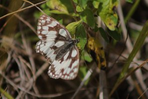 Marbled-white-(1)