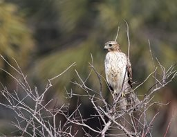 Hawk,-Red-shouldered-(1)