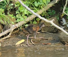 Red-naped-Wood-rail-(1)