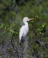 Cattle-egret-(19)