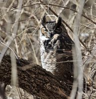 Owl,-Great-horned-(2)