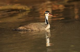 Sungrebe-(2)