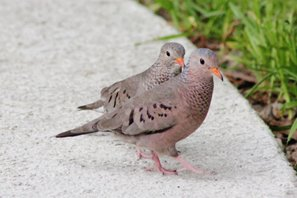 Ground-dove-(16)