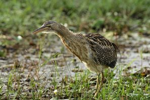Pinnated-Bittern-(4)