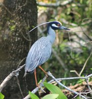 Yellowcrowned-night-heron-(2)