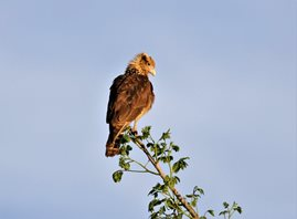 Yellow-headed-Caracara-(2)