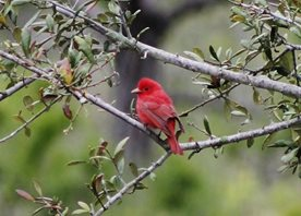 Summer-tanager-(1)