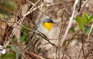 Flame-throated-warbler