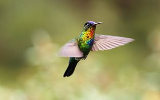 Fiery-throated-Hummingbird-(2)