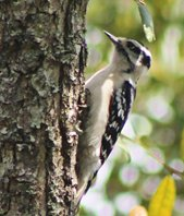 Downy-woodpecker-(2)