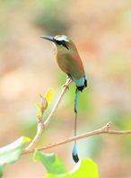 Turquoise-browed-Motmot-(2)