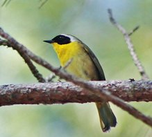 Common-yellowthroat-(4)