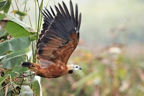 Black-collared-Hawk-(3)