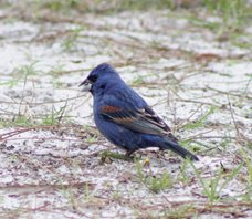 Blue-grosbeak-(15)