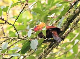 Chestnut-colored-Woodpecker