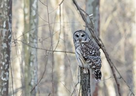 Owl,-Barred-(2)