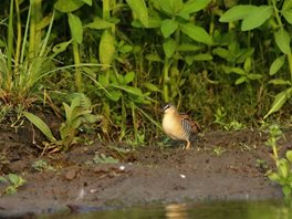 Yellow-breasted-Crake-(1)
