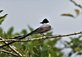 Fork-tailed-Flycatcher-(1)